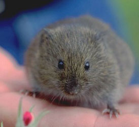 House Mice Are Small Rodents No Larger Than